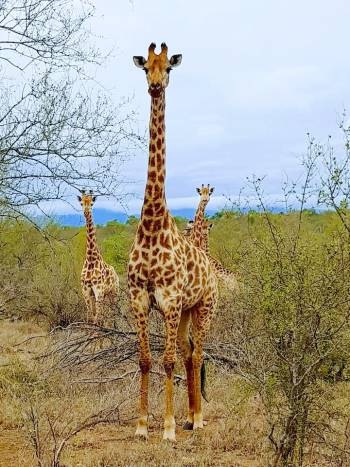 Giraffe's dont have neck problems