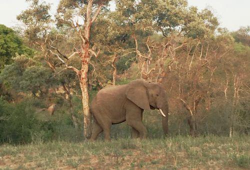 Lone bull elephant in Kruger Park